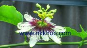 4 stigmas flower of passionfruit