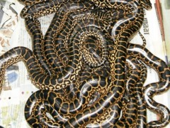 Baby yellow anacondas at the Kuala Pilah Snake Farm at the Ulu Bendul Recreational Forest. Pic by Amin Jalil. Source: NST