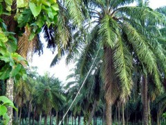 Oil_Palm_Plantation