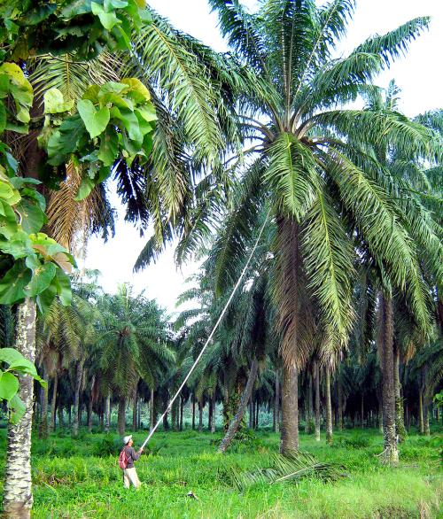 Bring in Bangla to work in palm oil plantation is another ...