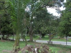What is left: A huge tree is removed while a palm tree is planted beside its stump. Residents in Kuala Kubu Bharu town complaining that Hulu Selangor District Council had cut about 40 trees that are 50 to 100 years old in the town while stumps are lying around at Kuala Kubu Bharu, Selangor.