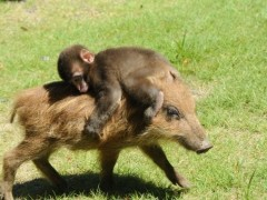 little monkey on a wild boar