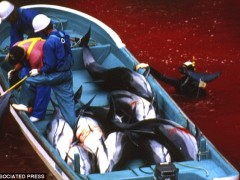 dolphines killed by Jap