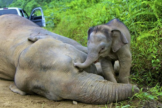 pygmy elephants killed in Sabah