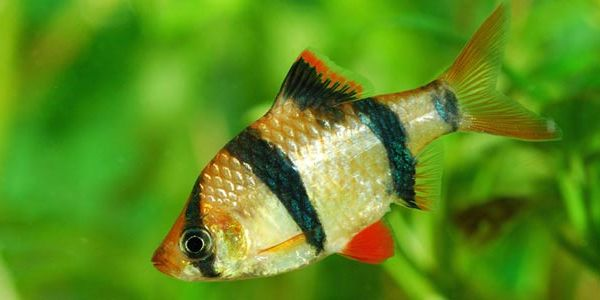 Four strips tiger barb is commonly sold in aquariums.